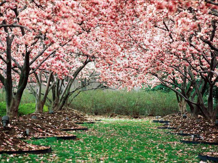 вишнёвый сад картинки