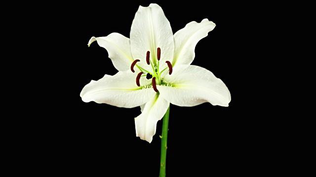 Лечебные свойства лилии в сексуальной