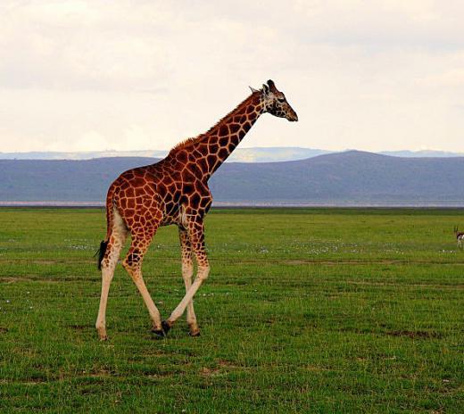 Гумилев стих жирафа