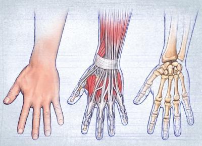 анатомическое строение кисти рук