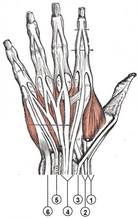 мышцы руки строение кисти руки