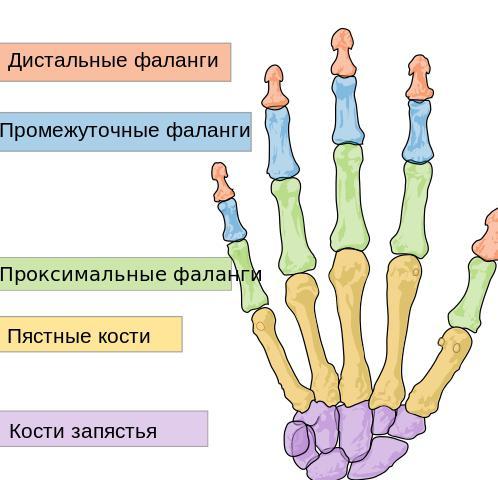 кисть строение мышцы суставы кисти