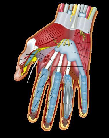 строение кисти руки и запястья