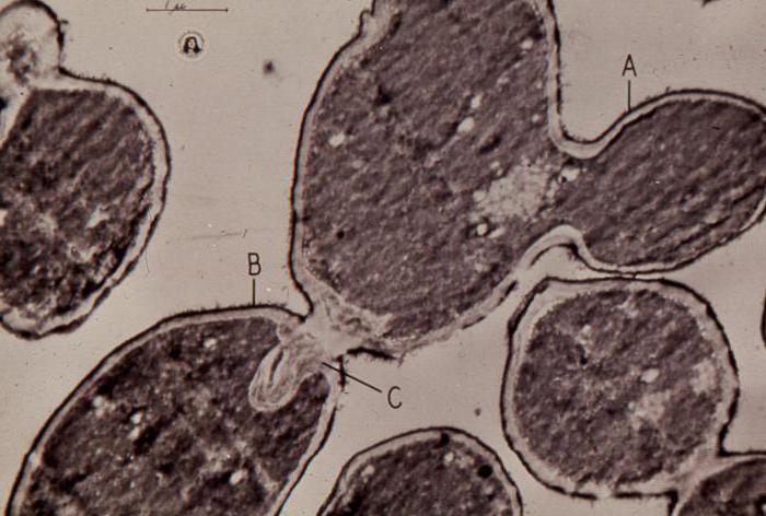 Способ размножения дрожжевых грибов 24
