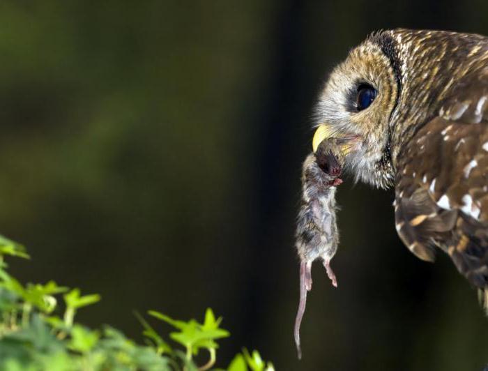 сыч птица фото звук