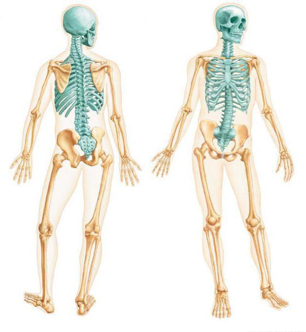 представлены картинки какие бывают скелеты март, льют