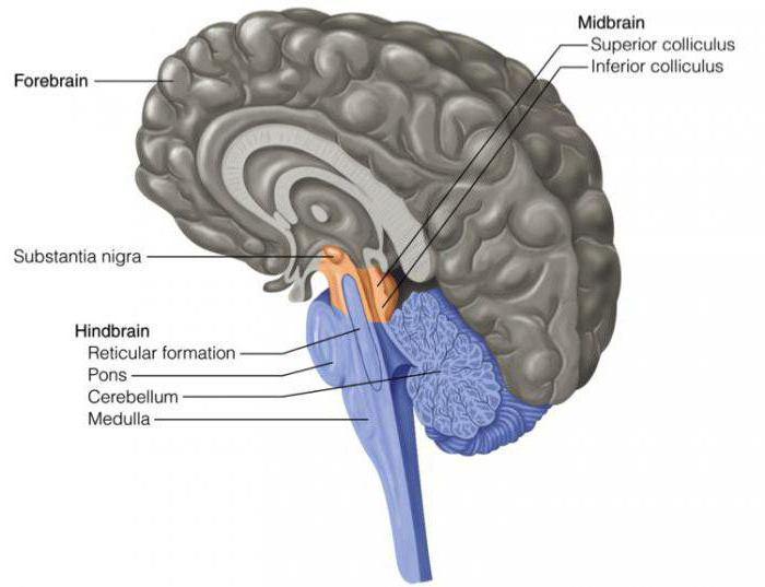 функции среднего мозга