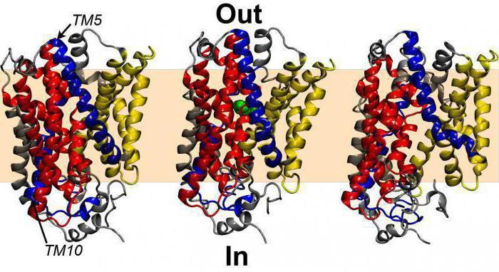 биологическая роль белка в организме
