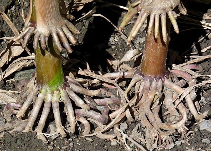 корни подпорки