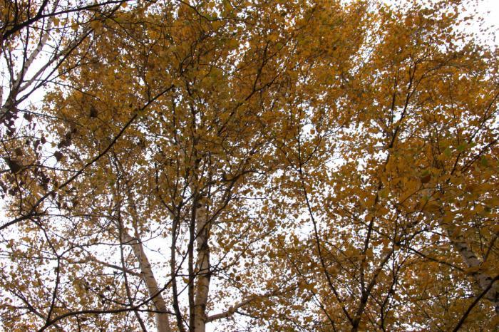 Желтеют листья у