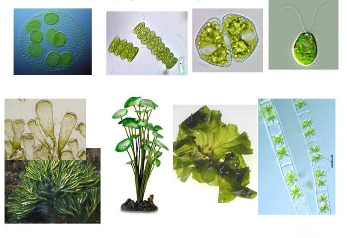 строение тела водорослей