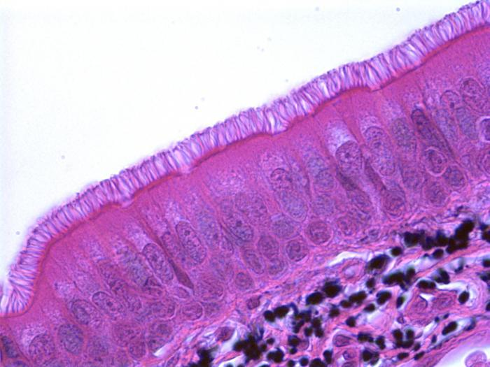 разновидности эпителиальной ткани