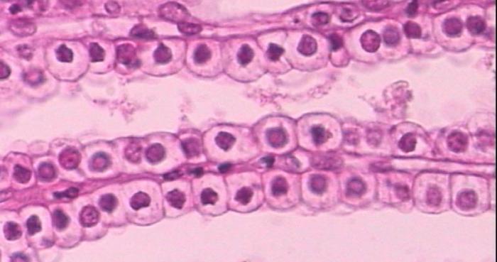 эпителиальные ткани организма