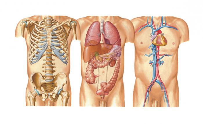 организм человека схема