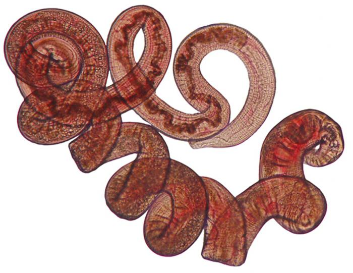 паразитический круглый червь