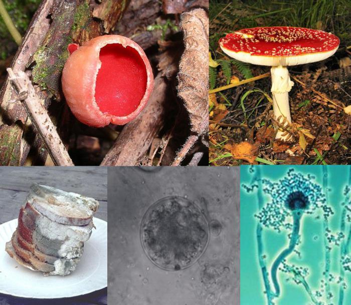 охарактеризуйте роль одноклеточных грибов в природе
