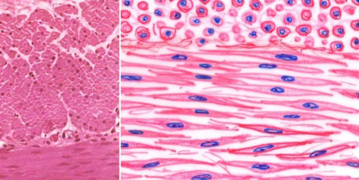 гладкая мышечная ткань фото