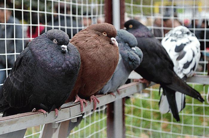 Николаевские голуби - птицы, которые ценятся во всем мире