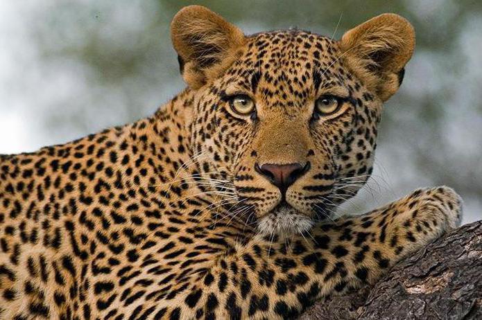 leopard gepard