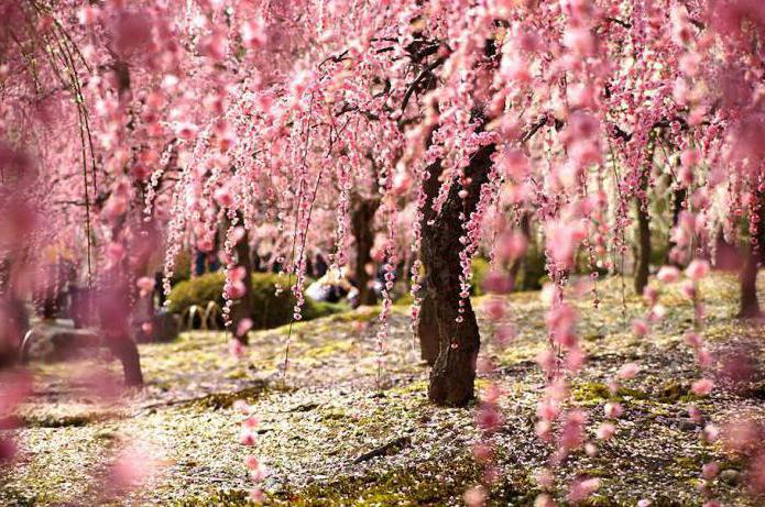 япония край цветущей сакуры
