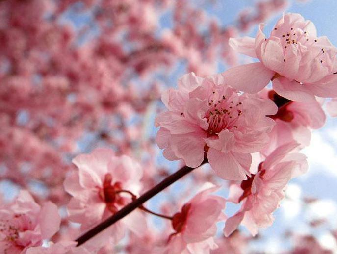 в каком месяце цветет сакура в японии