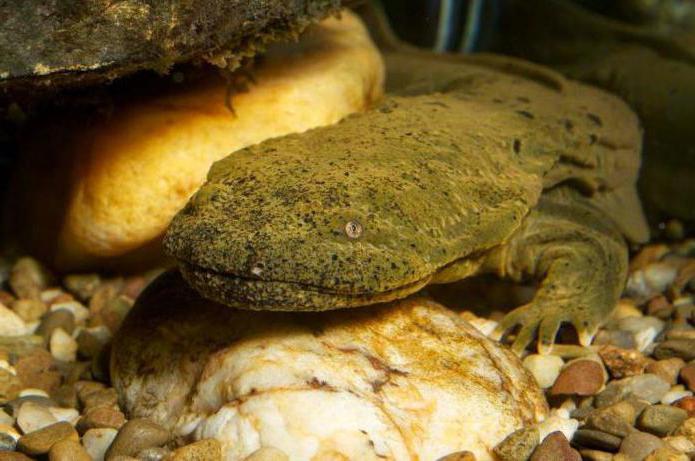 японская саламандра