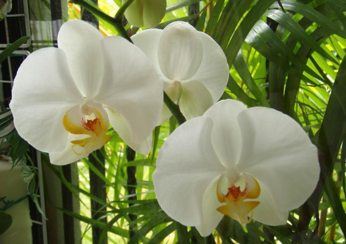 Как поливать цикламен во время цветения