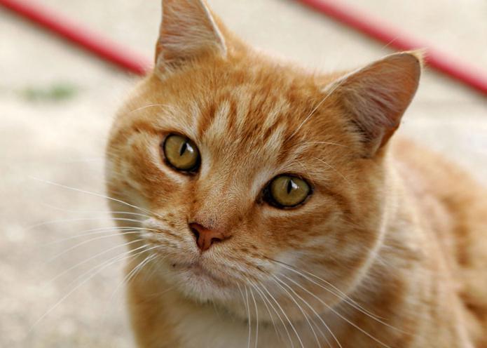 Почему сильно линяет шотландский кот