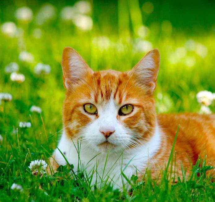 Шотландский кот сильно линяет