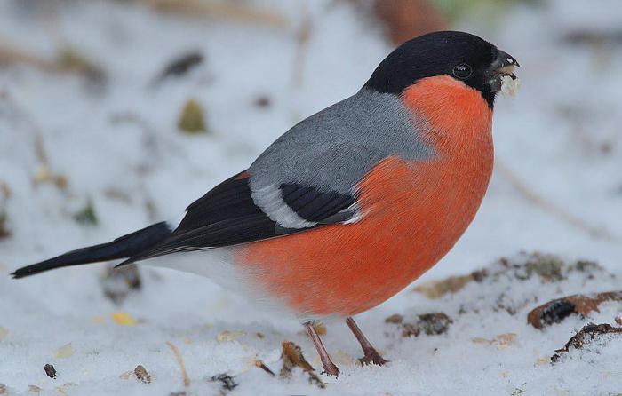 Происхождение названия птицы снегирь