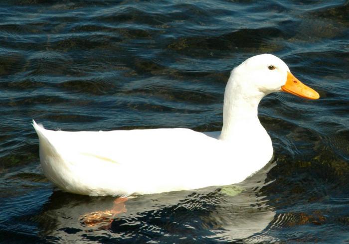 Водоплавающие птицы фото и названия