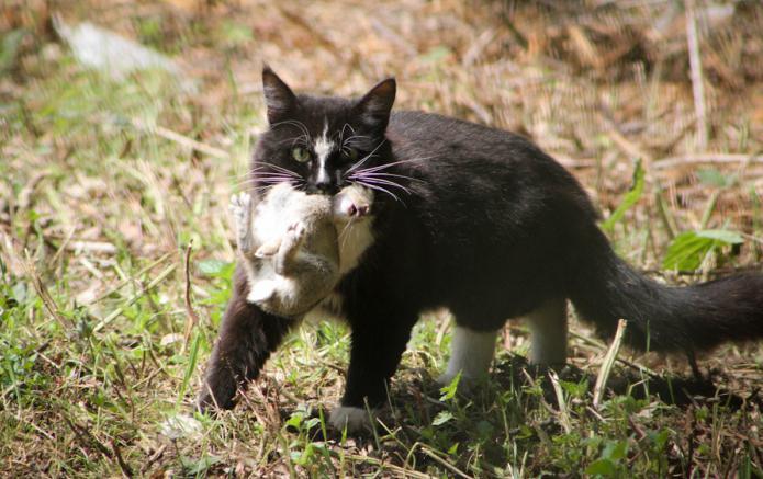 глисты у кошек передаются человеку