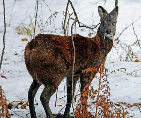 животные внесенные в Красную книгу России описание