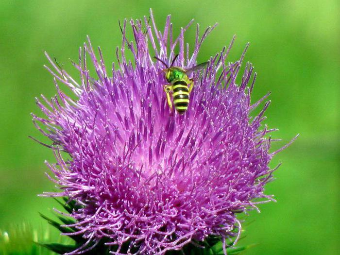 бодяк полевой ботаническое описание