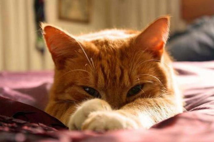 у кошки ложная беременность что делать