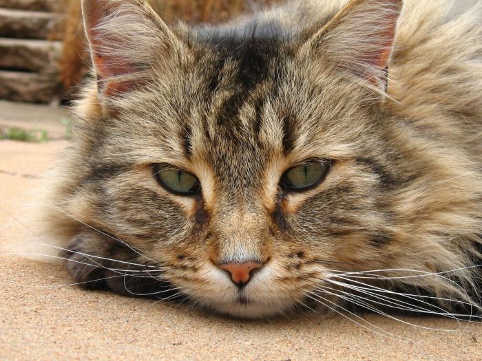 Что такое стерилизация кошек