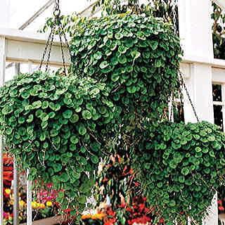 Дихондра ампельная выращивание из семян