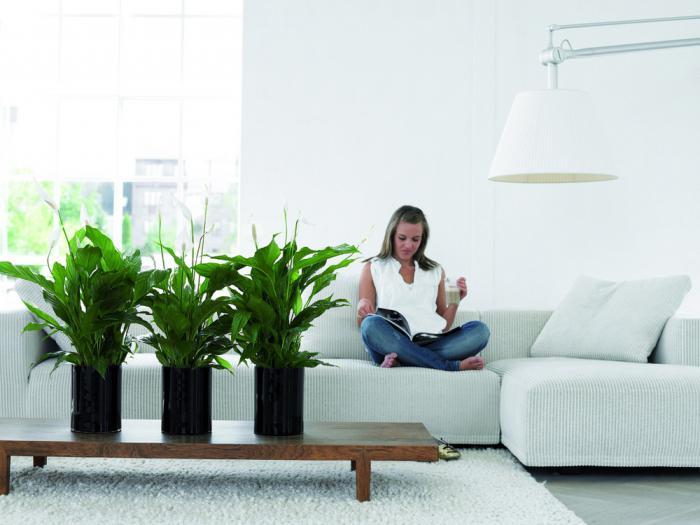 Спатифиллум как ухаживать в домашних условиях