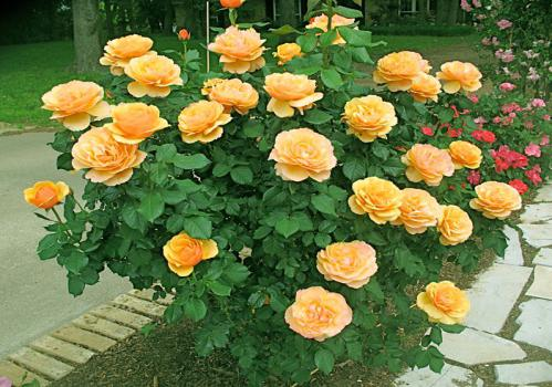 Розы грандифлора описание