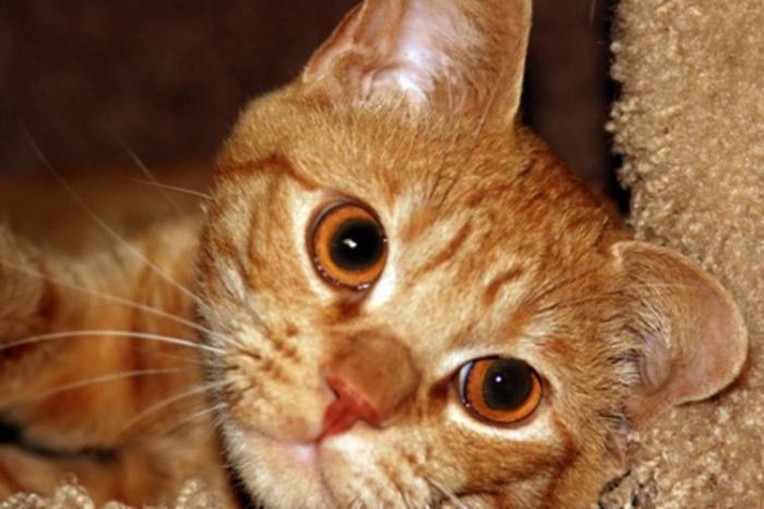 рыжий полосатый кот