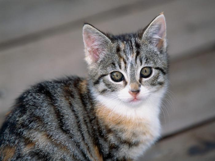 полосатый кот порода