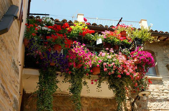 цветы петуния ампельная