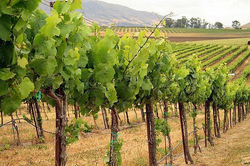 Уход за виноградом подарок запорожья 75