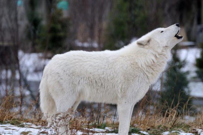 виды и подвиды волков тундровый волк