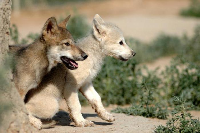 тундра и лесотундра тундровый волк