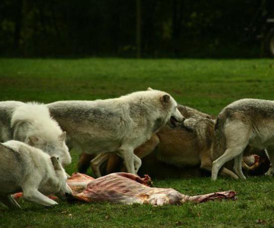 чем тундровый волк отличается от обычного