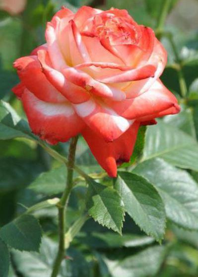 роза императрица описание и фото