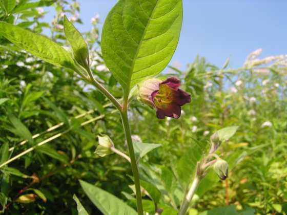 Белладонна растение красной книги