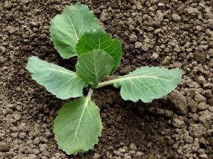 Семена ранней капусты
