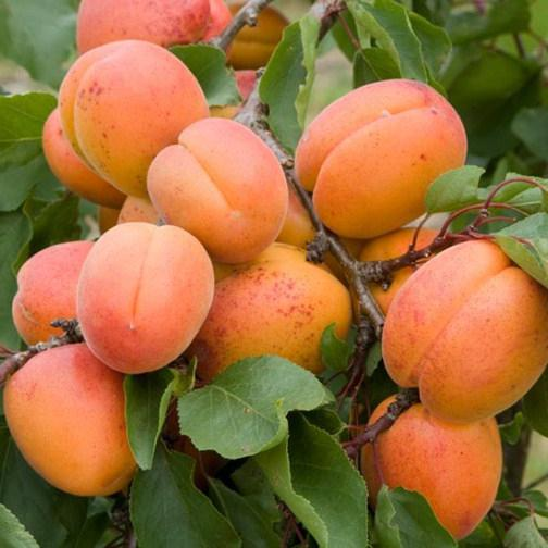 Каталог сортов абрикоса